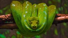 Resssssssting (Explored) (KWPashuk) Tags: nikon d7200 tamron tamron18400mm luminar luminar2018 lightroom kwpashuk kevinpashuk snake reptile zoo toronto ontario canada torontozoo wildlife nature