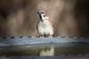 Thirsty Work....Tree Sparrow (Steve (Hooky) Waddingham) Tags: stevenwaddinghamphotography bird song nature countryside wild wildlife