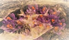 Spring in the Brook (Insearchoflight) Tags: springbrook springflowers waynenorman floraandwater naturephotography overlays joiningofcolorwithmovement stjohns newfoundlandandlabrador