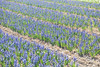 Purple hyacinths (_Elles_) Tags: nature holland bulbs field flowers spring