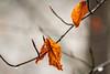 Leaves (NikNak Allen) Tags: plymouth devon plymbridge wood woods branch branches leaf close rain raindrop raindrops