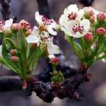 "Cincinnati – Spring Grove Cemetery & Arboretum ""Pear Tree Flowers"" thumbnail"