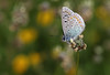 Blue Butterfly (Chris Kilpatrick) Tags: chris canon canon7dmk2 macro sigma105mm outdoor nature butterfly blue wildlife salbufera mallorca spain insect