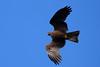 Milan noir_Milvus migrans (nicéphor) Tags: migrateur milan eos7d tamron150600mm faune rapaces wildlife canon vögel oiseaux birds nature