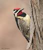 Yellow-bellied Sapsucker (sbuckinghamnj) Tags: yellowbelliedsapsucker sapsucker woodpecker garretmountain garretmountainreservation newjersey bird