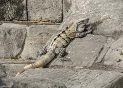 Hangin' with the locals (Adaptabilly) Tags: mexico yucatán ruins travel mayan mx archaeology chichenitza iguana stone animal lumixgx7