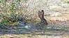 Desert Cottontail (Jeffrey Neihart) Tags: jeffreyneihart wildlife nikon 300mm f4e pf ed vr afs nikon300mmf4epfedvrafs d7200 bushbunny cottontail ranchocaliforniarvresort