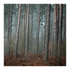 _57A2829 (ciollileach) Tags: woodland landscapephotography landscape sherwoodforest trees arboreal pines mist atmosphere beech copperbeech silverbirch