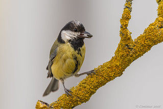 Parus major (Cinciallegra, Great tit).
