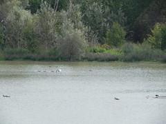 DSCN9965 (Gianluigi Roda / Photographer) Tags: wetlands waterbirds summer latesummer 2012 landscapes naturalparks oasi