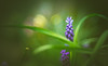 Grape Hyacinth (Dhina A) Tags: enna werk münchen correlar 8cm f29 80mm correlar8cmf29 munchen german bubble bokeh triplet sony a7rii ilce7rm2 a7r2