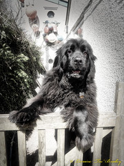 Mabel 19th April 2018 (TAZ BRADLEY) Tags: mabel nikon nikons9900 s9900 aurorahdr2018 newf newfie newfoundland newfy blacknewfoundland blackdog cornwall cornishcoastalvillage bigblackdog beautifulgirl bigbear dcp lizardpeninsula cadgwith