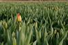 the first ones (Johan Moerbeek) Tags: tulips tulpen heiloo boekelermeer bollenvelden canon750d avond
