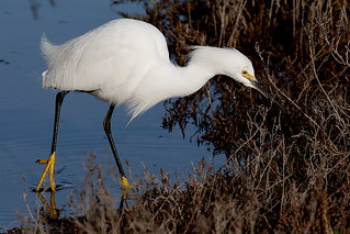 Snowy Egret (Egretta thula), hunting for prey along the Palo Alto Baylands shoreline