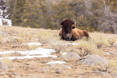 A bull bison rests in the sage (YellowstoneNPS) Tags: mteverts ynp yellowstone yellowstonenationalpark bison spring
