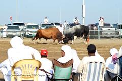 Fujairah Bull Fighting 01 (Gabby Canonizado 02 (New account)) Tags: bull bullfighting fujairah fujairahbullfighting uae unitedarabemirates canonizado gabbycanonizado nikon d7000 nikond7000 7003000mmf4056 nikon7003000mmf4056