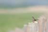 Fin de saison (Eric Penet) Tags: oiseau animal sauvage france faune nature wildlife wild baie somme picardie bird avril printemps passereau mâle gorgebleue gorge bleue bluethroat