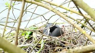 P2030438 foulque macroule 04 (nid) -Grouchy