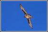 Gypaète 180314-08-RP (paul.vetter) Tags: oiseau ornithologie ornithology faune animal bird gypaètebarbu gypaetusbarbatus bartgeier quebrantahuesos beardedvulture vautour rapace