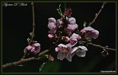 Espressioni della Primavera - Marzo-2018 (agostinodascoli) Tags: agostinodascoli marzo fiori nature cianciana sicilia nikon nikkor rami piante