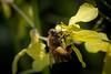Wildcat Bee in radish patch-4702 (alankrakauer) Tags: ebrpd wildcat parks publiclands eastbay bayarea nature radish flower pollinator spring bee honeybee pollen