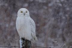 Snowy Owl (NicoleW0000) Tags: snowy owl