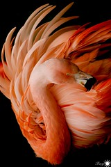 Fire (Trayc99) Tags: fire feathers plumage flamingo pink flames bird water animal closeup nature featheredfriend bright texture