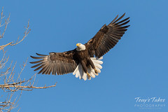 Female Bald Eagle returns to the nest - 6 of 29