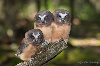 Northern Saw-whet Owl - Young