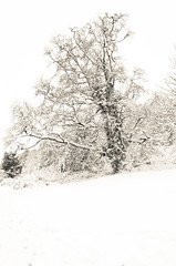 Primley Park in the Snow (ii) (Ray. Hines) Tags: pentaxk5 smcpentaxda18135mmf3556edalifdcwr snow tree white primleypark paignton devon whiteintheback