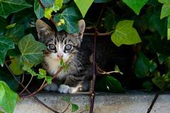 Te veo. I see you. (.Guillermo.) Tags: gato cat cats gatos pet mascota verde nature naturaleza nikon tamron70300 green
