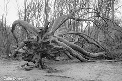 Fallen Tree-21032018-16.jpg (Colin Dorey) Tags: bw monochrome blackandwhite blackwhite hampstead heath camden london northlondon tree fallentree bough branches park