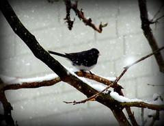 Birds At Snowstorm: Dark-eyed Junco (dimaruss34) Tags: newyork brooklyn dmitriyfomenko image winter snow snowstorm snowfall tree branch branches bird darkeyedjunco