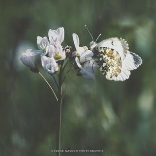 Aurore sur cardamine - printemps 2017
