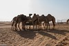 Camels (lukifo) Tags: dubai desert safari camels