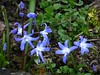 Der Frühling ist da. (dorisgoebel) Tags: frühling spring blumen flower blau blue pflanzen chionodoxa