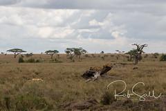 Lion Family resting on a Log (robsall) Tags: 2016 24105 24105f4isusm 5dm3 5dmark3 5dmarkiii 5dmiii africa africatourism africawildlifephotography africanwildlife big bigcat bigcats canon canon24105f4isusm canon24105mm canon5d canon5dmarkiii canon5dm3 canoneos canoneos5dm3 carnivore cat endangered family feline largefelines lion lioness lions mammal pantheraleo predator robsallaeiral robsalldrone robsalldronephotography robsallphotography robsallwildlifephotography tanzania tanzania2016 vacation vulnerable mararegion