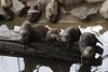 MWE-20180325-030.jpg (Schuttermajoor1974) Tags: ouwehandsdierenpark dierentuin kleinklauwotter rhenen utrecht nederland nl