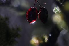 N oublies  pas d éteindre la lumière , après ton passage ! Merci 😊 (Callie-02) Tags: nature branche feuille bois haie extérieur jardin drop goutte eau contrejour canon macro bokeh couleurs détails éclat pénombre lumière arbre buisson baierouge fruit