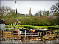 Braunston cattle (Jason 87030) Tags: cattle cows moo pens fence braunston green church allsaints northants animals livestock beef northamptonshire march 2018 view vista scene uk england farm industry weather