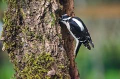 Downy (iFl1ckr) Tags: bird wildlife woodpecker downy