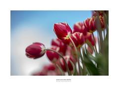 soon.... (Zino2009 (bob van den berg)) Tags: tulips field color red bow bending round flower dutch typical row sky spring springtime holland symbol