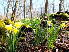 Wilde Narzissen im Ruwertal... Herrlich (Antje_Neufing) Tags: narzissenwiese narzissen frühling april frühlingsblumen ruwertal hochwald traumschleife wald sonne rheinlandpfalz