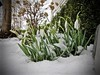 melting snow (ladybugdiscovery) Tags: snowdrops snow melting macro garden cold spring