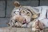 I Looked at You - You Looked at Me (Belteshazzar (AKA Harimau Kayu)) Tags: rocky kara tiger zoo animal bigcat bigcats feline bengaltiger pantheratigristigris königstiger indischertiger eltigredebengala tigredubengale latigrerealedelbengala бенгальскийтигр 孟加拉虎 whitetiger weisertiger tigreblanco tigreblancroyal белыйтигр 孟加拉白虎 zooshot tobu tobuzoo snowwhite sunbathing canada playful playfulcat playfultiger playfulwhitetiger bengal