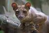 Youngster (Mel.Rick) Tags: tiere säugetiere mammals raubtiere madagassischeraubtiere zooduisburg zoo cryptoproctaferox fossa frettkatze endemisch predators katzenartige carnivora