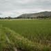 Rice fields, Bugarama