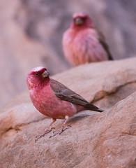 Sinai Rosefinches (Wild Chroma) Tags: carpodacus synoicus carpodacussynoicus sinai rosefinch wadirum jordan birds passerines