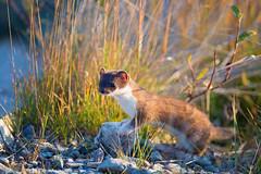 Short tailed weasel (WhiteEye2) Tags: shorttailedweasel wildlife nature alaska weasel denalinationalpark cute adorable