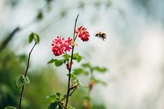 Bumblebee (camerue) Tags: 70200 bokeh frühling natur hummel landen blüte insekt